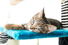 Grey tabby kitten with blue eyes lying on blue plush soft surfac Royalty Free Stock Photography
