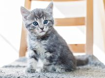 Cute grey kitten sitting on chair. Grey tabby kitten with blue eyes sitting on chair indoors stock image