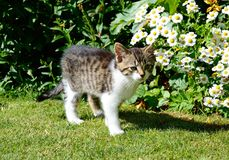 Grey tabby kitten in the garden. Royalty Free Stock Photo