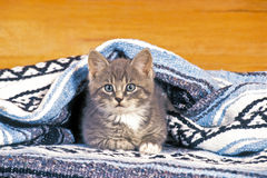 Grey tabby Kitten Stock Image