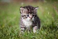Grey tabby kitten on green grass Royalty Free Stock Photo