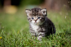 Grey tabby kitten on green grass Stock Photo