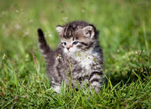 Grey tabby kitten on green grass Royalty Free Stock Image