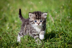 Grey tabby kitten on green grass Stock Photos