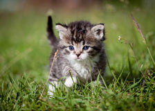 Grey tabby kitten on green grass Royalty Free Stock Photos