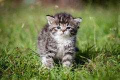 Grey tabby kitten on green grass Stock Photography