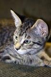 Grey Tabby Kitten Lying aux cheveux courts sur le divan vert Image libre de droits