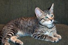 Grey Tabby Kitten Lying de cabelos curtos no sofá verde Fotografia de Stock Royalty Free