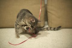 Grey tabby kitty plays with red string on sandy yellow with brown sofa. Grey tabby kitty plays with red string on sandy yellow with brown sofa Stock Photo