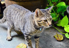 Grey Tabby Thai cat. Looking for something Royalty Free Stock Photo