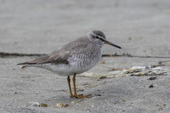 GREY-TAILED TATTLER standing on a sandy beach in spring Stock Photography