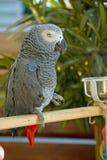 Grey talking parrot Royalty Free Stock Image