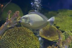 Grey tang fish in  Aquarium Stock Photos