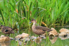 Grey Teal (Anas gracilis) Royalty Free Stock Photos