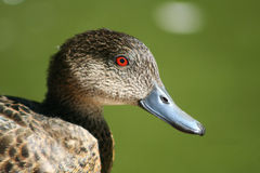 Grey Teal Duck. Head shot of a grey teal duck Royalty Free Stock Image