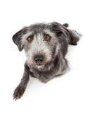 Grey Terrier Crossbreed Dog Laying Looking Forward Stock Photos