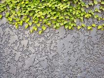 Grey Textured Concrete Background Wall con las hojas verdes del arrastramiento foto de archivo libre de regalías