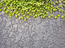Grey Textured Concrete Background Wall With Creeping Green Leaves royalty free stock photo