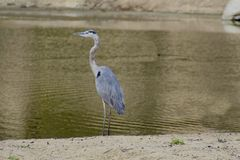 Crane bird gray and thin Royalty Free Stock Photo