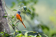 Grey-Throated Minivet perching on tree with green background Royalty Free Stock Image