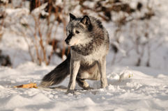 Grey Timber wolf in snow Royalty Free Stock Image