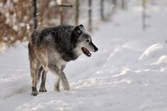 Grey Timber wolf in snow Stock Images