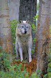Grey Timber Wolf Royalty Free Stock Photography