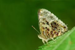 Grey Tinsel butterfly. Of Thailand background Stock Image