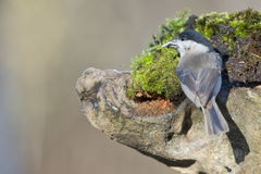 Grey tit on the brown background Royalty Free Stock Photography