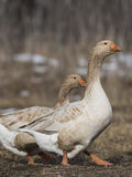 Grey toulouse goose Stock Photography