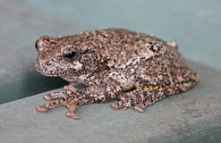 Grey Tree Frog Imagen de archivo libre de regalías