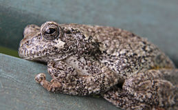 Grey Tree Frog Close-Up Stock Photo
