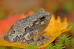 Grey tree-frog (Hyla versicolor) royalty free stock photography