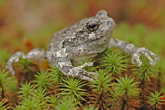 Grey tree-frog (Hyla versicolor). Sitting on grass stock photos