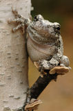 Grey tree-frog (Hyla versicolor). Sitting on a tree stock photography