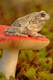 Grey tree-frog (Hyla versicolor). Sitting on a mushroom royalty free stock image