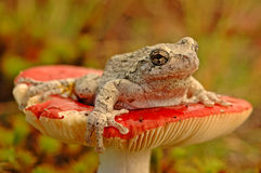 Grey tree-frog (Hyla versicolor). Sitting on a mushroom stock photo