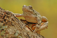 Grey tree-frog (Hyla versicolor). Sitting on a tree stock photos