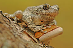 Grey tree-frog (Hyla versicolor) stock photos