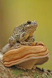Grey tree-frog (Hyla versicolor). Sitting on a mushroom stock photography