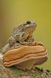 Grey tree-frog (Hyla versicolor) Stock Photography