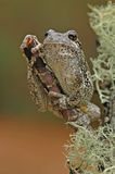 Grey tree-frog (Hyla versicolor). Sitting on a tree stock photo