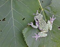 Grey Tree Frog on a Leaf Stock Photography