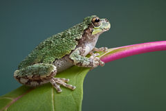 Grey tree frog on pokeweed Royalty Free Stock Photos