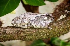 Grey Tree Frog Resting på en filial arkivbild