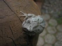 Grey Tree Frog Sitting Immagine Stock Libera da Diritti