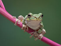 Grey tree frog on stem. A baby grey tree frog is perched on a branch of pokeweed Royalty Free Stock Photography