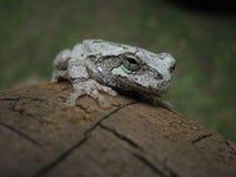 Grey Tree Frog Stock Photo