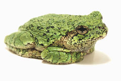 Grey Tree Frog su fondo bianco Fotografia Stock Libera da Diritti