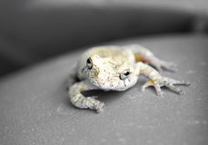 Grey Tree Frog Royalty Free Stock Images